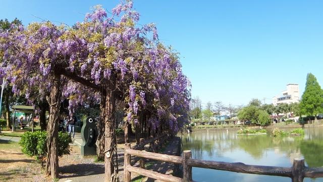 20180329_082228.jpg - 2018林口大湖公園紫藤花季