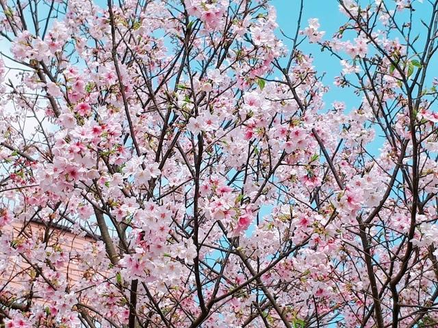 2018-03-25-08-39-53.jpg - 2018陽明山櫻花季
