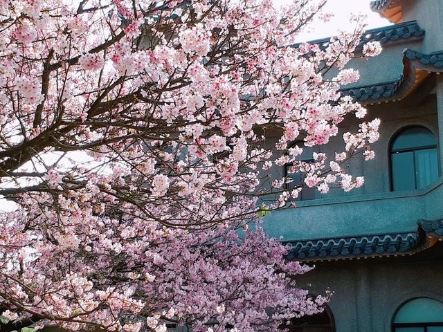 2018-03-25-08-59-18.jpg - 2018陽明山櫻花季