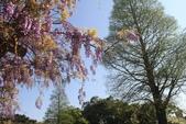 2018林口大湖公園紫藤花季:LRG_IMG_5790.JPG