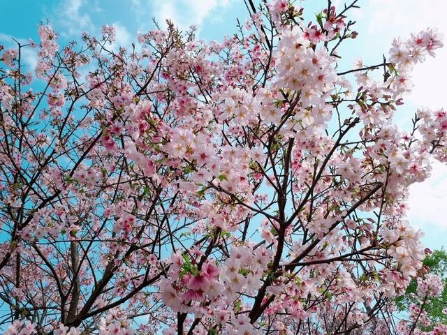 2018-03-25-08-39-03.jpg - 2018陽明山櫻花季