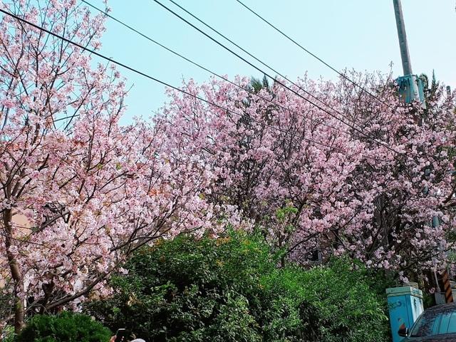 2018-03-25-08-47-49.jpg - 2018陽明山櫻花季
