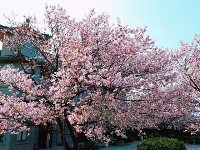 2018-03-25-09-01-21.jpg - 2018陽明山櫻花季