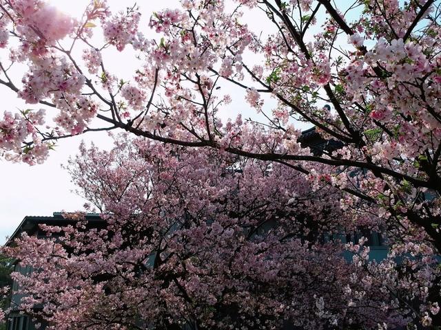 2018-03-25-08-51-30.jpg - 2018陽明山櫻花季
