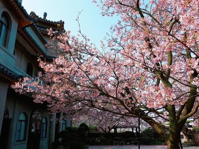 2018-03-25-08-52-30.jpg - 2018陽明山櫻花季