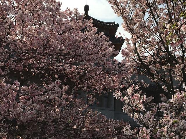 IMG_7781.JPG - 2018陽明山櫻花季