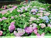 泰山黎明繡球花步道:2017-05-29-11-46-14.jpg