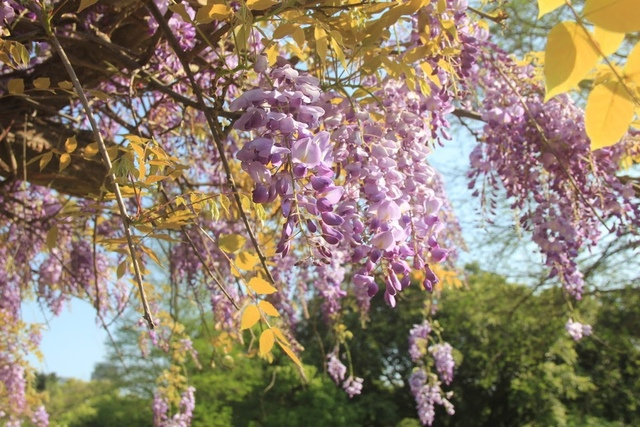 LRG_IMG_5772.JPG - 2018林口大湖公園紫藤花季
