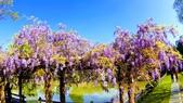 2018林口大湖公園紫藤花季:20180329_081645-EFFECTS.jpg