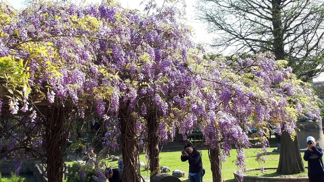 20180329_081043.jpg - 2018林口大湖公園紫藤花季
