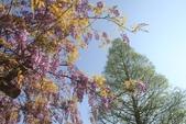 2018林口大湖公園紫藤花季:LRG_IMG_5791.JPG