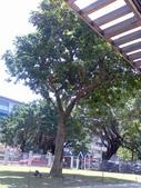 980509 跳舞咖啡廳與石門海邊:蔡瑞月老師親手種的龍眼樹
