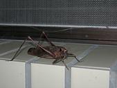 烏來的昆蟲(直翅篇):台灣騷斯