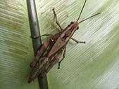 烏來的昆蟲(直翅篇):短翅突額蝗