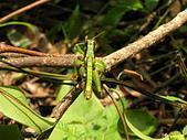 烏來的昆蟲(直翅篇):瘤喉蝗
