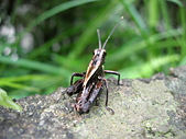 烏來的昆蟲(直翅篇):蝗蟲