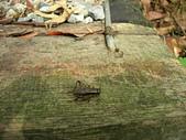 烏來的昆蟲(直翅篇):台灣大蟋蟀