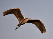 汐止 江北大橋附近  白鷺鷥 鸕鷀 大白鷺   蒼鷺 夜鷺  1:汐止 江北大橋附近  蒼鷺