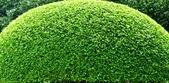 天元宮櫻花  老梅綠石槽  :天元宮