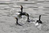 汐止 江北大橋附近  白鷺鷥 鸕鷀 大白鷺   蒼鷺 夜鷺  1:汐止 江北大橋附近  鸕鷀 Phalacrocorax carbo 大白鷺 白鷺鷥  蒼鷺 夜鷺