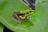 龍山寺 觀世音菩薩佛誕    植物園 金線蛙  :    植物園 金線蛙