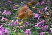 栗小鷺  :    栗小鷺