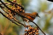 台北植物園   赤腹鶇:台北植物園   赤腹鶇