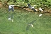 汐止 江北大橋附近  鸕鷀  大白鷺   蒼鷺 白鷺鷥 夜鷺  2:汐止 江北大橋附近  鸕鷀 Phalacrocorax carbo 大白鷺 白鷺鷥  蒼鷺 夜鷺
