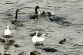 汐止 江北大橋附近  鸕鷀  大白鷺   蒼鷺 白鷺鷥 夜鷺  2:汐止 江北大橋附近  鸕鷀 Phalacrocorax carbo