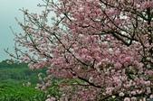 天元宮櫻花  老梅綠石槽  :天元宮櫻花