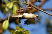 台北植物園 白腹鶇:台北植物園 白腹鶇