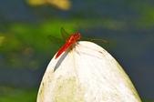 三富農場  四結福德廟:三富農場  紅蜻蜓