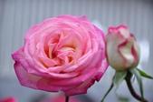 士林官邸 玫瑰花 梅花 菊花 蘭花:士林官邸 玫瑰花 梅花 菊花 蘭花