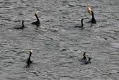 汐止 江北大橋附近  白鷺鷥 鸕鷀 大白鷺   蒼鷺 夜鷺  1:汐止 江北大橋附近  鸕鷀  Phalacrocorax carbo