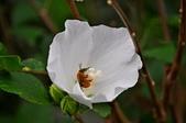 台灣紫嘯鶇  小彎嘴畫眉   斑點鶇   戴勝  金翅雀   :花與蜜蜂