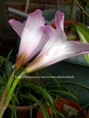 風雨蘭品種紀錄:DSCN0915_0.jpg