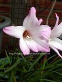 風雨蘭品種紀錄:DSCN0911_01.jpg