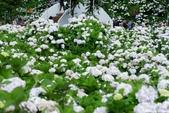 高家繡球花田萬里區:DSCF6286.jpg