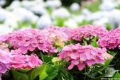 高家繡球花田萬里區:DSCF6295.jpg