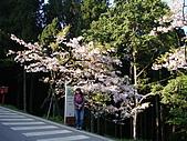 2010.03.19阿里山賞櫻:DSC07775.JPG