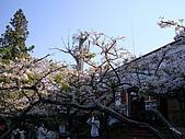 2010.03.19阿里山賞櫻:DSC07792.JPG