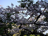 2010.03.19阿里山賞櫻:DSC07786.JPG