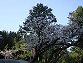 2010.03.19阿里山賞櫻:DSC07780.JPG