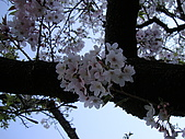 2010.03.19阿里山賞櫻:DSC07784.JPG
