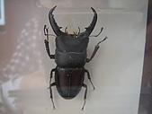 2008.11.21達觀.明池.馬告.:生態館標本鍬形蟲