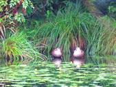 2015.10.11宜蘭福山植物園:花嘴鴨