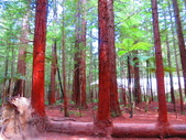 2019.03.12紐西蘭南北島之旅:北島紅木森林公園IMG_1769.JPG