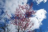 2011.01.09.再訪林郡農場:山樱花