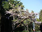 2010.03.19阿里山賞櫻:DSC07783.JPG