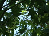 2009.08.02.奧萬大:楓葉開花?